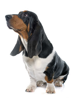 Learn about basset hounds from BHRG